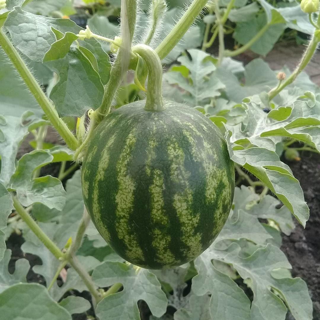 Огородный карантин  как вырастить съедобный урожай на балконе и участке  6