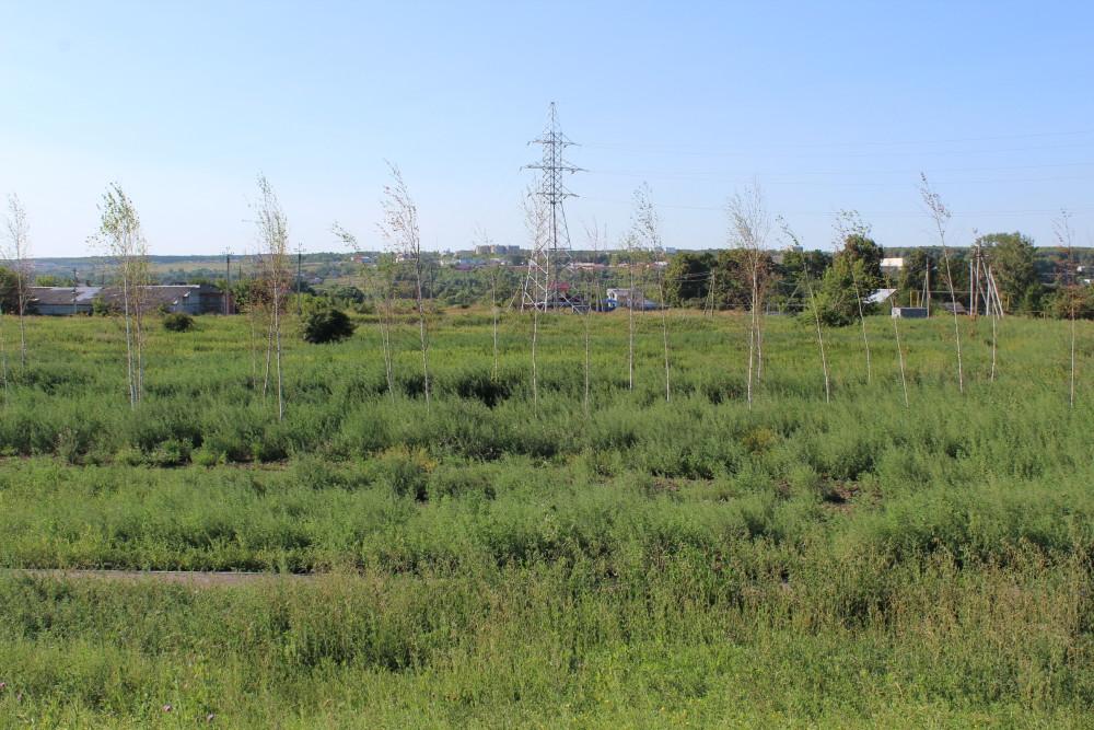b Город  не болей   2   b  как озеленить   центр Саранска    Молодые березки 1