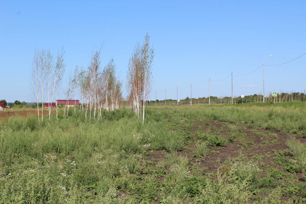 b Город  не болей   2   b  как озеленить   центр Саранска    Молодые березки 2
