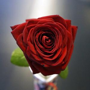 Розы для любимых  инспектируем цветочные магазины Саранска barbaris (3)