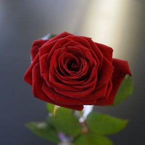 Розы для любимых  инспектируем цветочные магазины Саранска edelveis (1)