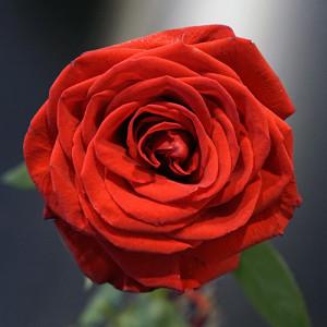 Розы для любимых  инспектируем цветочные магазины Саранска ekvador (4)