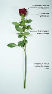 Розы для любимых  инспектируем цветочные магазины Саранска pt