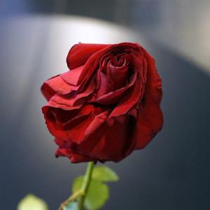 Розы для любимых  инспектируем цветочные магазины Саранска tsvety_donna_rosa (2)