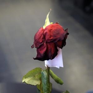 Розы для любимых  инспектируем цветочные магазины Саранска vremeva_goda (4)